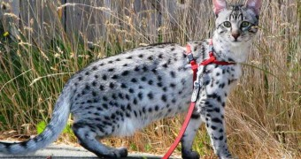 Как правильно надеть и выбирать шлейку для кошки